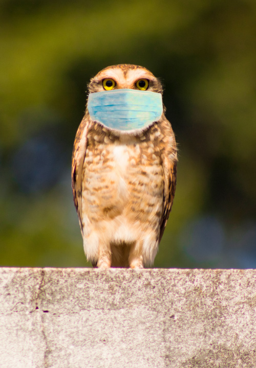 an owl wearing a medical mask